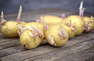 Germination pommes de terre