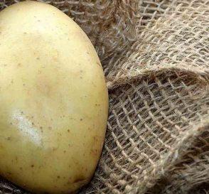 quelle variété de pomme de terre planter?