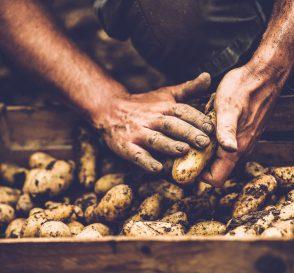 quand récolter les pommes de terre?