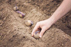 quand planter les pommes de terre