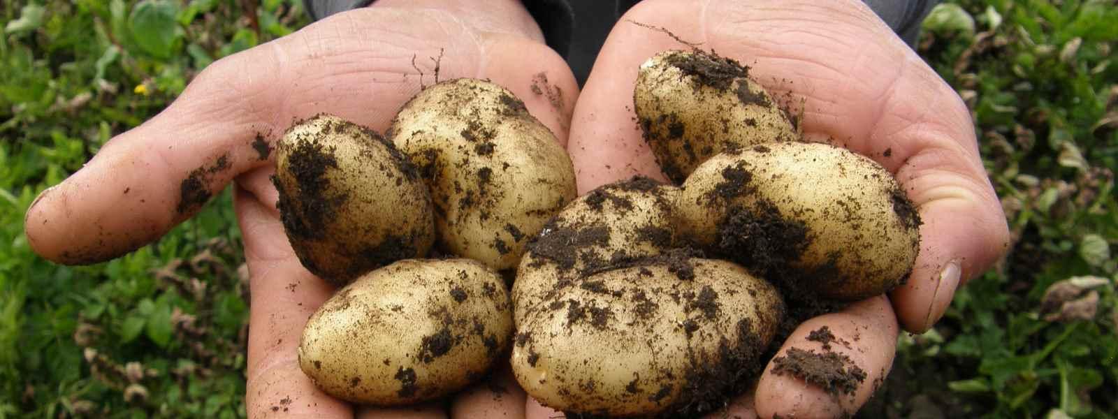 quand ramasser les pommes de terre
