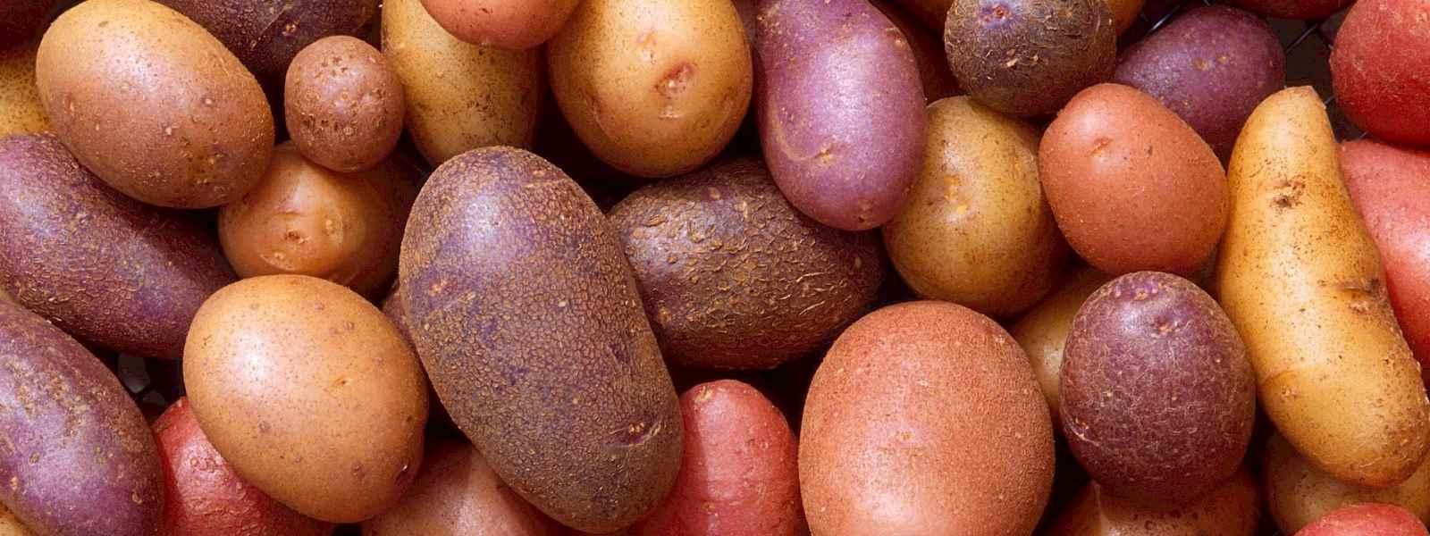 quelle variété pommes de terre