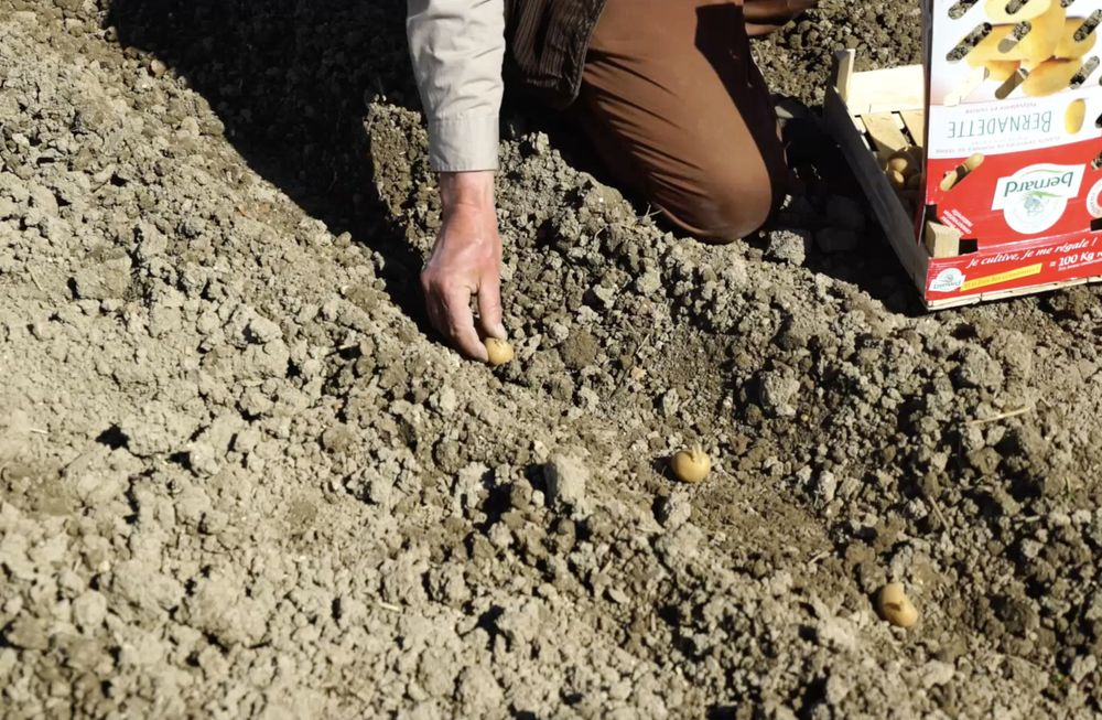le jardinier dépose les plants de pommes de terre au fond du sillon