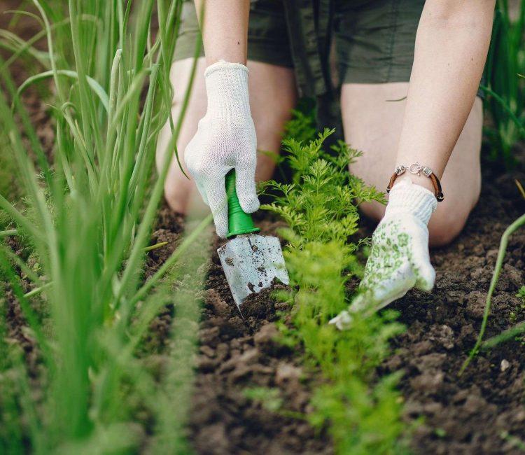 une jardinière entretien un range de carottes