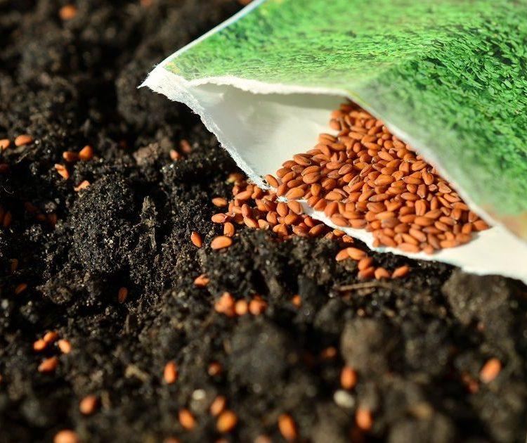 graines et sachet sur la terre en vue d'un semis
