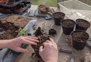 un jardinier repique ses plants de tomate