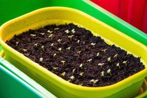 des plantules ont levé après un semis en terrine