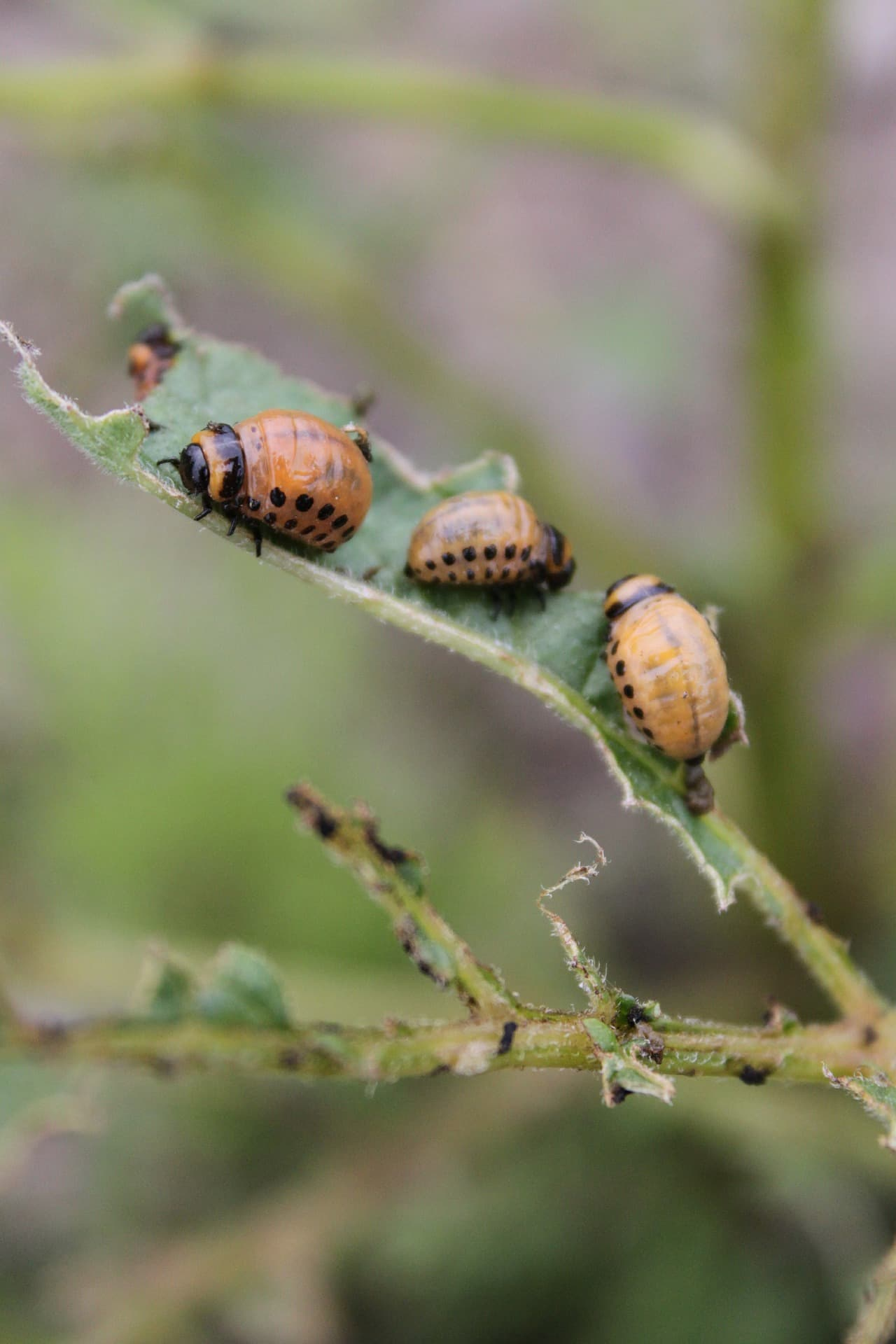 Des larves de doryphore ravagent un plant de pommes de terre