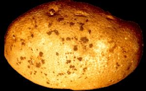 tubercule de pomme de terre touché par le rhizoctonia solani et présentant des sclérotes