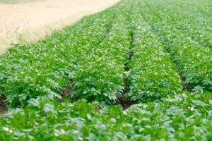 un champ de pommes de terre sans adventices grâce au pouvoir couvrant de la plante