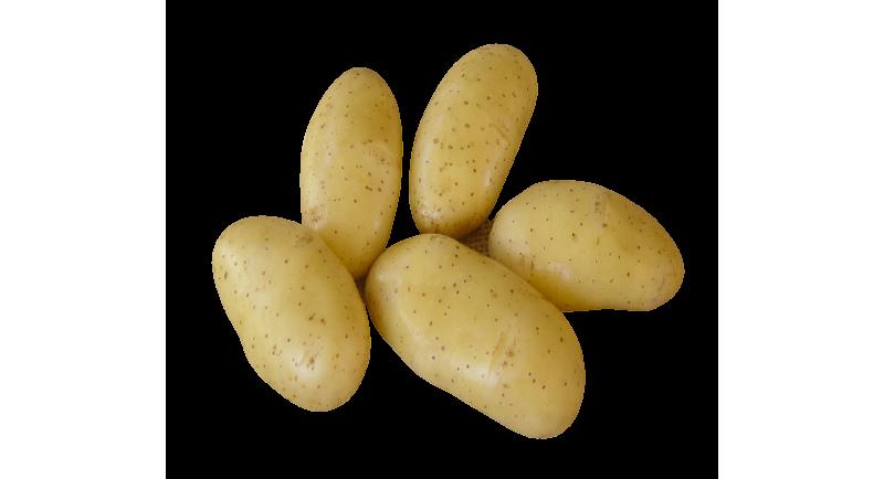 cinq pommes de terre variété Belle de Fontenay